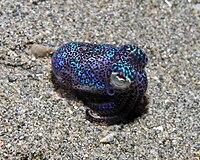 Bobtail squid.jpg