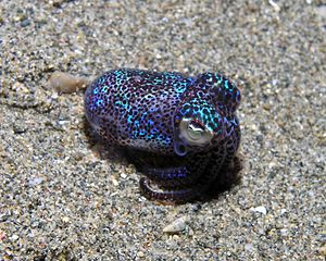 Bobtail squid from East Timor.