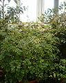 Boenninghausenia albiflora BotGardBln271207A.jpg
