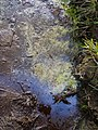 Bog oil - geograph.org.uk - 515771.jpg
