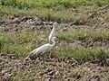 Bogoli (Egret).jpg