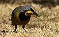 Bokmakierie, Telophorus zeylonus, at Walter Sisulu National Botanical Garden, South Africa (14511790377).jpg