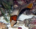 Bolbometopon bicolor 1zz.jpg