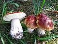 Boletus chippewaensis 371997.jpg