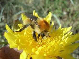 Hymenoptera - Bombus muscorum drinking nectar with its long proboscis