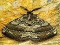 Bonn zoological bulletin - Striphnopteryx edulis (male) 3.jpg