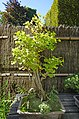 Bonsaï sabamiki dans l'Arboretum de la Vallée-aux-Loups (Chatenay-Malabry) (44968068232).jpg