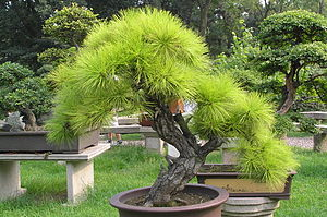 Bonsai at the gardens of pagoda Yunyan Ta.jpg