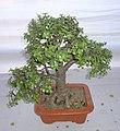 Bonsai of Elephant Bush 13.jpg