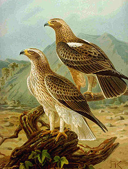 Booted Eagle NAUMANN.jpg