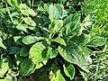 Boraginaceae - Pentaglottis sempervirens - 5.jpg