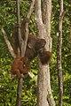 Bornean orangutan (Pongo pygmaeus), Tanjung Putting National Park 05.jpg