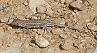 Bosc's fringe-toed lizard (Acanthodactylus boskianus asper).jpg