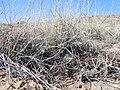 Bouteloua eriopoda — Matt Lavin 002.jpg