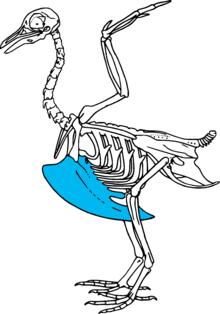 Quilha aves wikip dia a enciclop dia livre for O osso esterno e dividido em