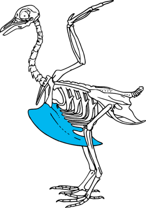 Keel (bird anatomy) - This stylised bird skeleton highlights the keel bone