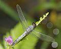 Brachydiplax sobrina-Kadavoor-2016-06-27-004.jpg