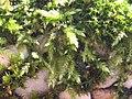 Brachythecium rutabulum 110399482.jpg