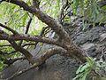 Brahmavriksh (Sanskrit- ब्रह्मवृक्ष) (4937870619).jpg