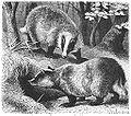 Brehms Het Leven der Dieren Zoogdieren Orde 4 Das (Melus taxus).jpg