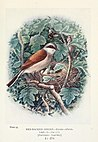 Britain's birds and their nests (1910) (14732390856).jpg