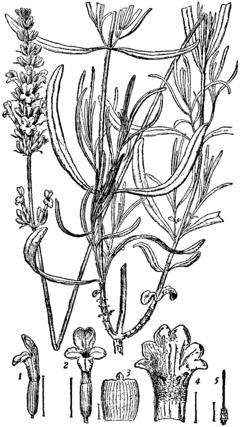 Britannica Lavender