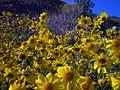 Brittlebush - Encilia farinosa - Mojave Wild Flowers 2008 - panoramio - Zzyzx.jpg