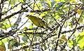 Broad-ringed White-Eye (Zosterops poliogastrus) (44760138690).jpg