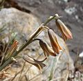 Brown Bluebell. Dipcardi serotinum - Flickr - gailhampshire.jpg
