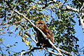Brown Howler monkey male.jpg