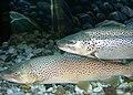 Brown trout 01.jpg