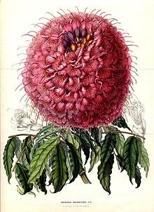 Brownea-grandiceps-Lemaire-1850.jpg