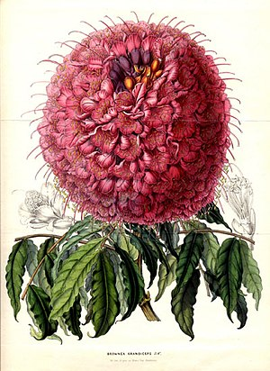 Detarioideae - Brownea grandiceps Lemaire 1850