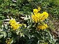 Budai Arborétum. Felső kert. Szürke kutyatej (Euphorbia myrsinites). - Budapest.JPG