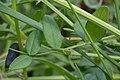 Bush Vetch (Vicia sepium) - Oslo, Norway 2020-08-03 (01).jpg