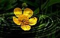 Buttercup. (9163671783).jpg