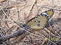 Butterfly 3 Plain Tiger.jpg