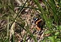 Butterfly Hardricourt.jpg