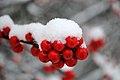 CA Winter berries (5352294763).jpg
