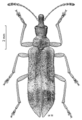 COLE Belidae Pachyurinus sticticus.png