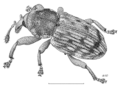 COLE Curculionidae Palontus exospermi.png