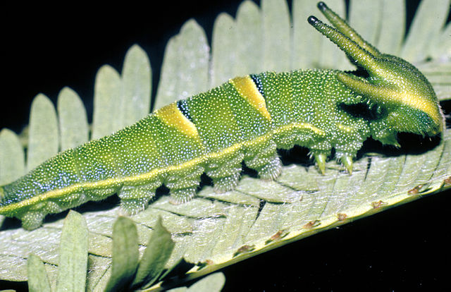 Bộ sưu tập cánh vẩy 4 - Page 18 640px-CSIRO_ScienceImage_2694_Caterpillar_of_the_Tailed_Emperor_Butterfly