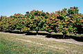 CSIRO ScienceImage 4070 Trickle irrigated mango plantation in the Burdekin Irrigation Area Brandon near Ayr QLD.jpg