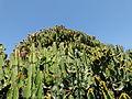 Cactus géant 3.JPG