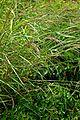 Calamagrostis canadensis (14995821781).jpg