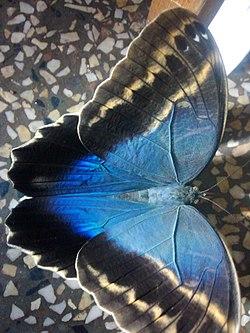 Bộ sưu tập cánh vẩy 6 - Page 2 250px-Caligo_brasiliensis_02