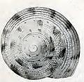 Calliostoma africanum 002.jpg
