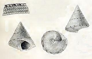 <i>Calliostoma quadricolor</i> species of mollusc