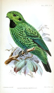 黑喉绿阔嘴鸟