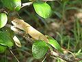 Caméléon Madagascar 01.jpg